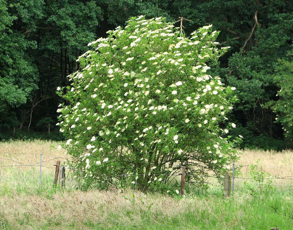 Sambucus nigra (door Bert Verbruggen)