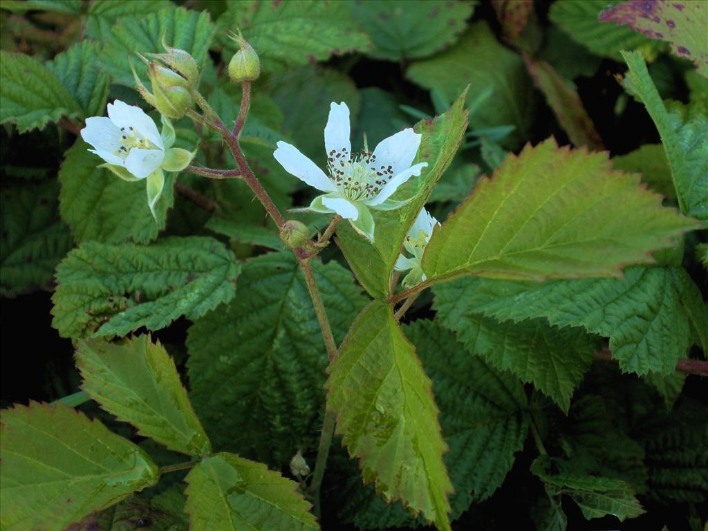 Rubus caesius (door Bert Verbruggen)