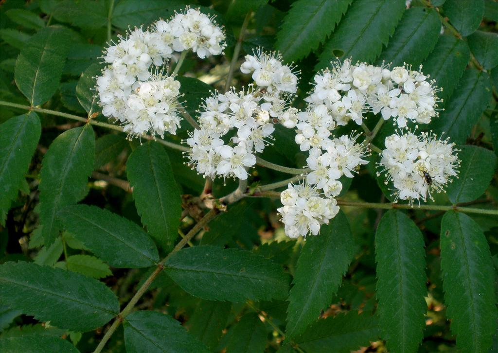 Sorbus aucuparia (door Bert Verbruggen)
