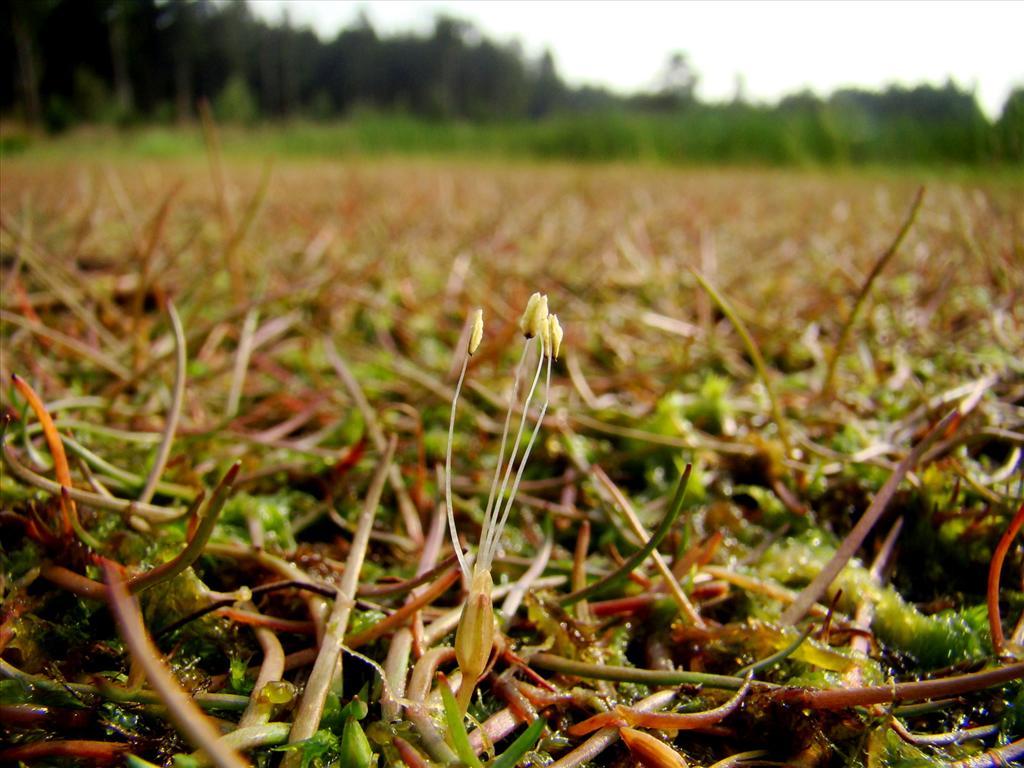Littorella uniflora (door Joop Verburg)