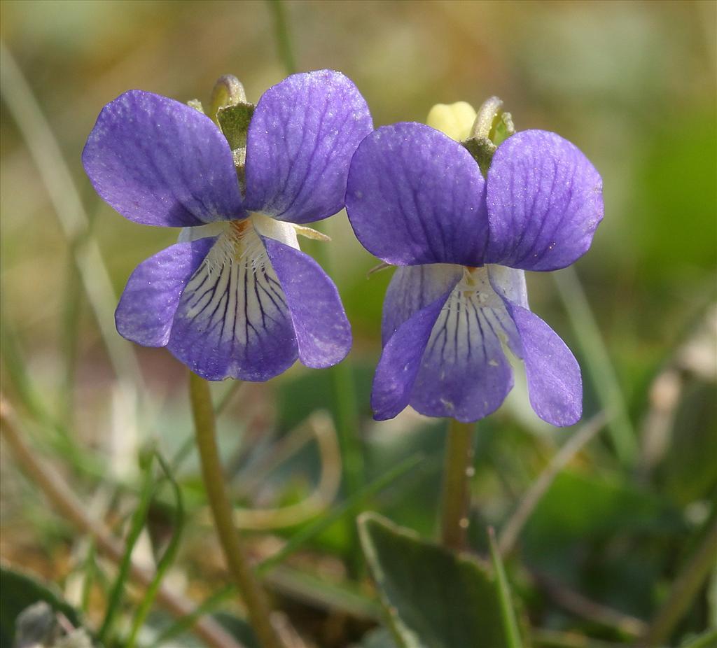 Viola canina (door Jan Katsman)
