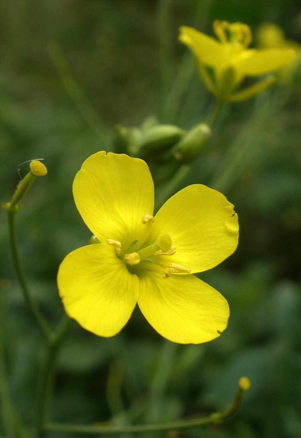 Diplotaxis tenuifolia (door Bert Verbruggen)