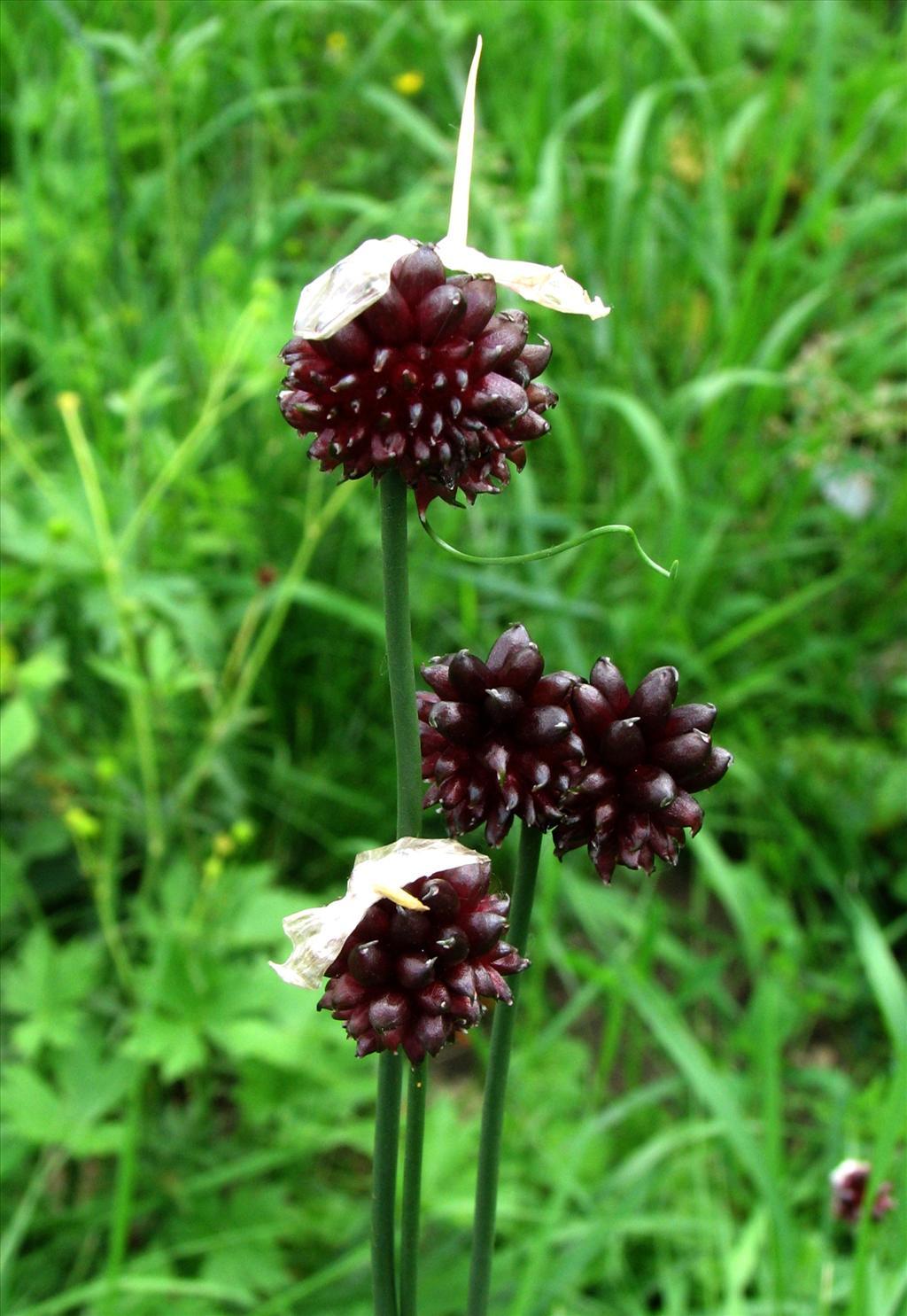 Allium vineale (door Bert Verbruggen)