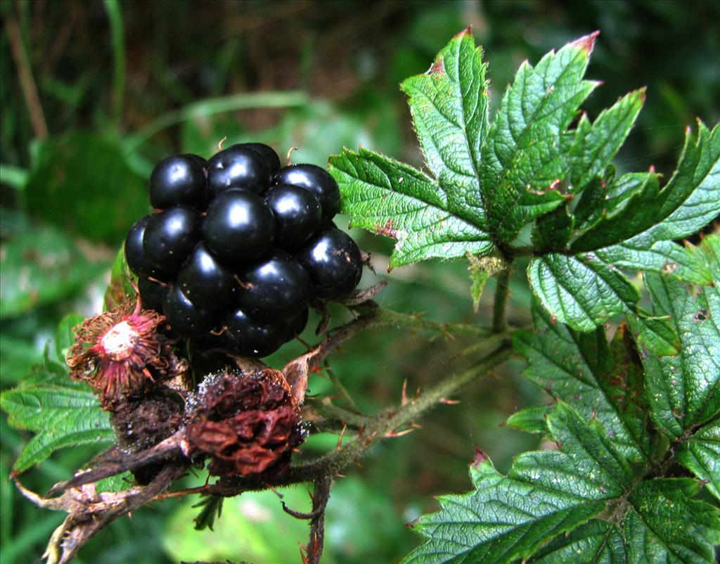Rubus nemoralis f. laciniatus (door Bert Verbruggen)