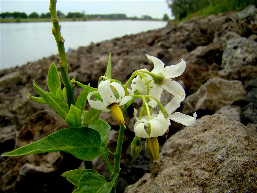 Solanum dulcamara (door Joop Verburg)