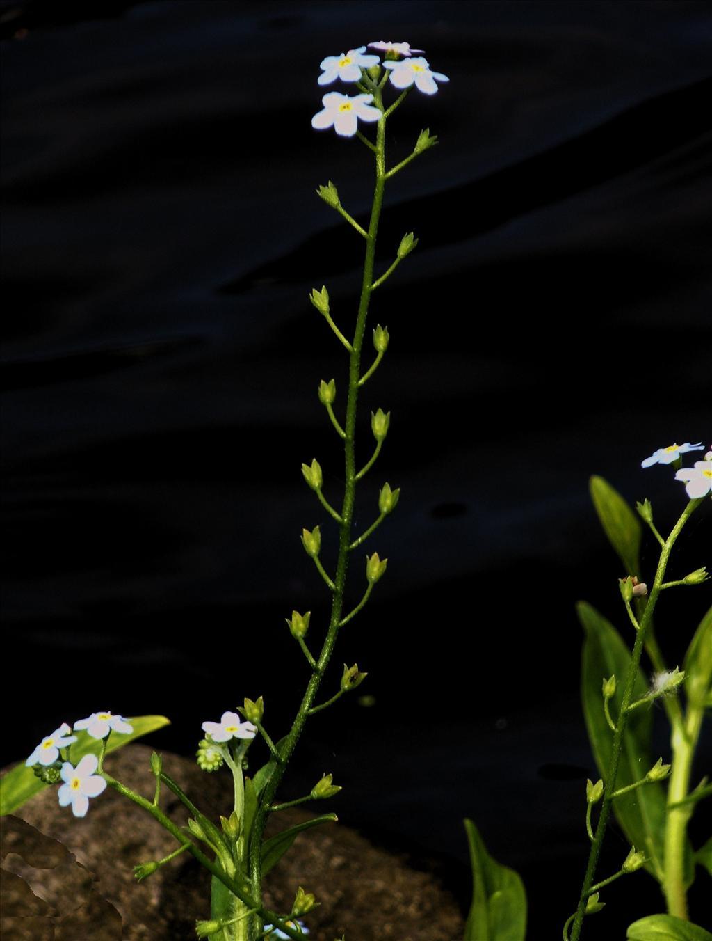 Myosotis scorpioides subsp. scorpioides (door Bert Verbruggen)
