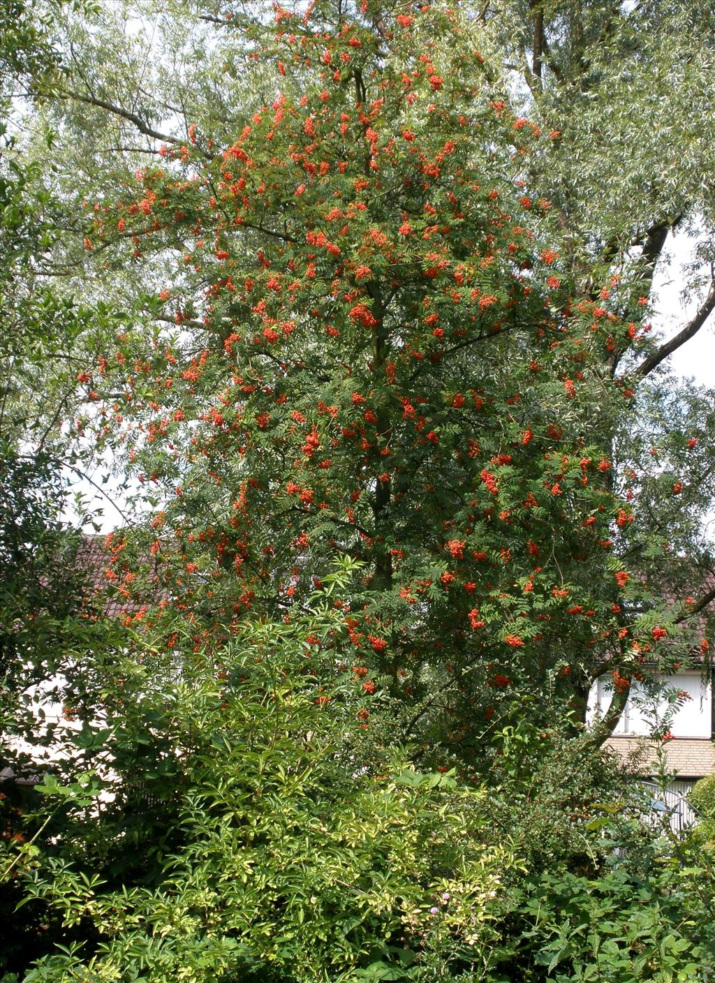 Sorbus aucuparia (door Bert Verbruggen)