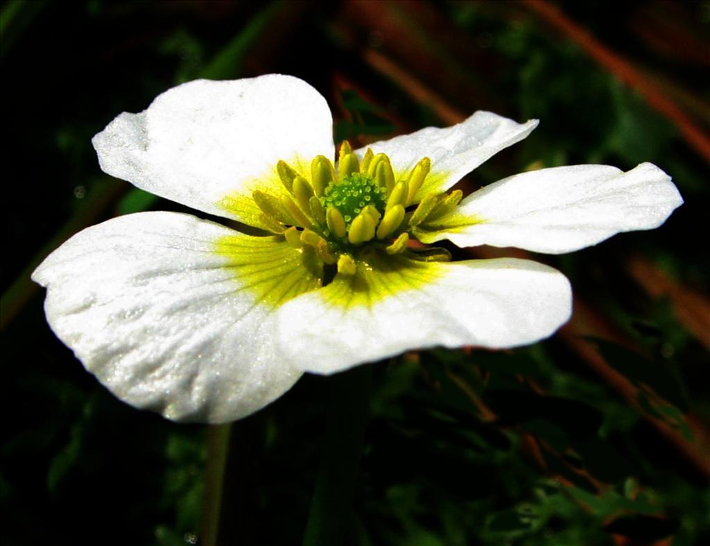 Ranunculus peltatus (door Bert Verbruggen)