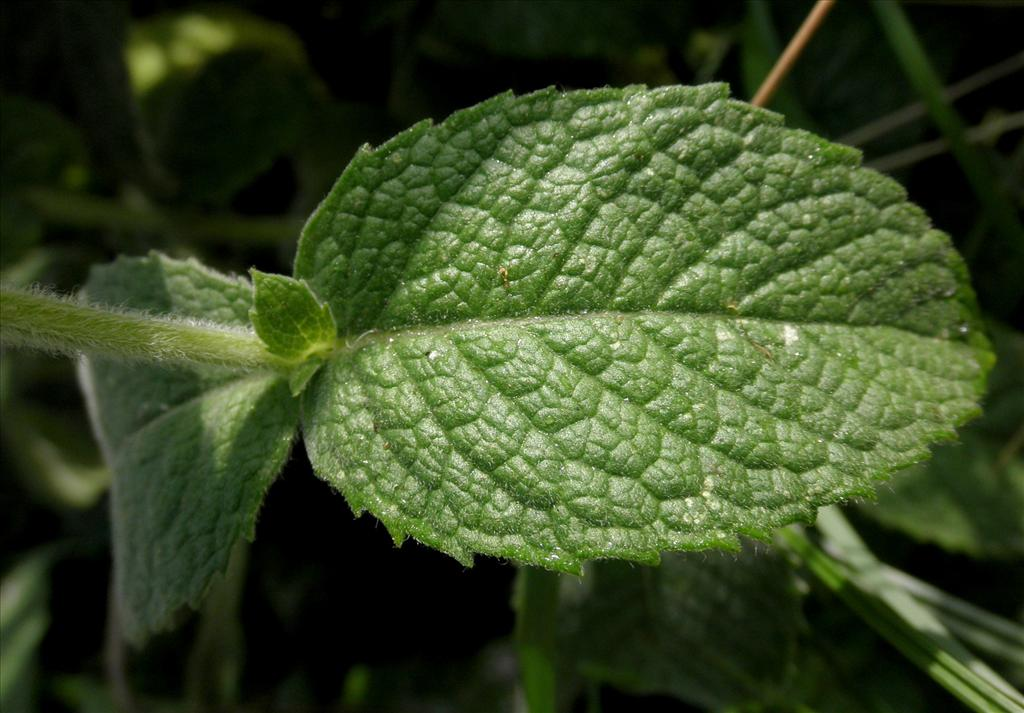 Mentha x rotundifolia (door Bert Verbruggen)