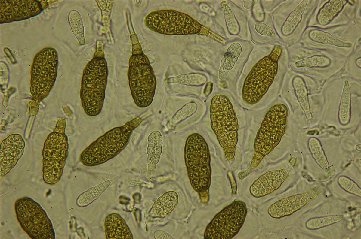 Splanchnonema argus anamorf (door Kees Roobeek)