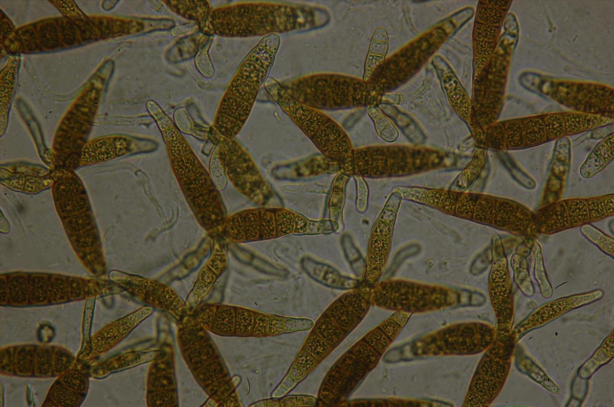 Pleomassaria siparia anamorf (door Kees Roobeek)