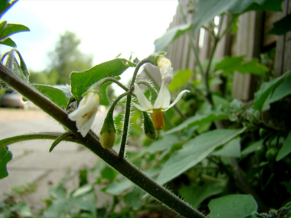 Solanum nigrum subsp. schultesii (door Joop Verburg)
