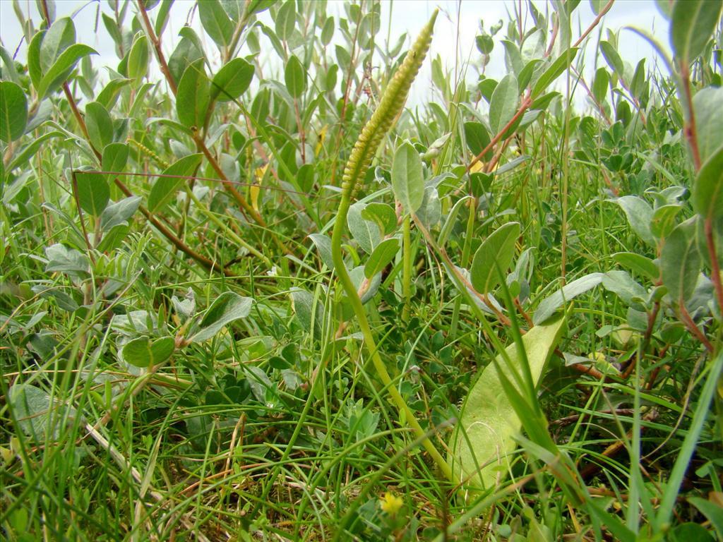 Ophioglossum vulgatum (door Joop Verburg)