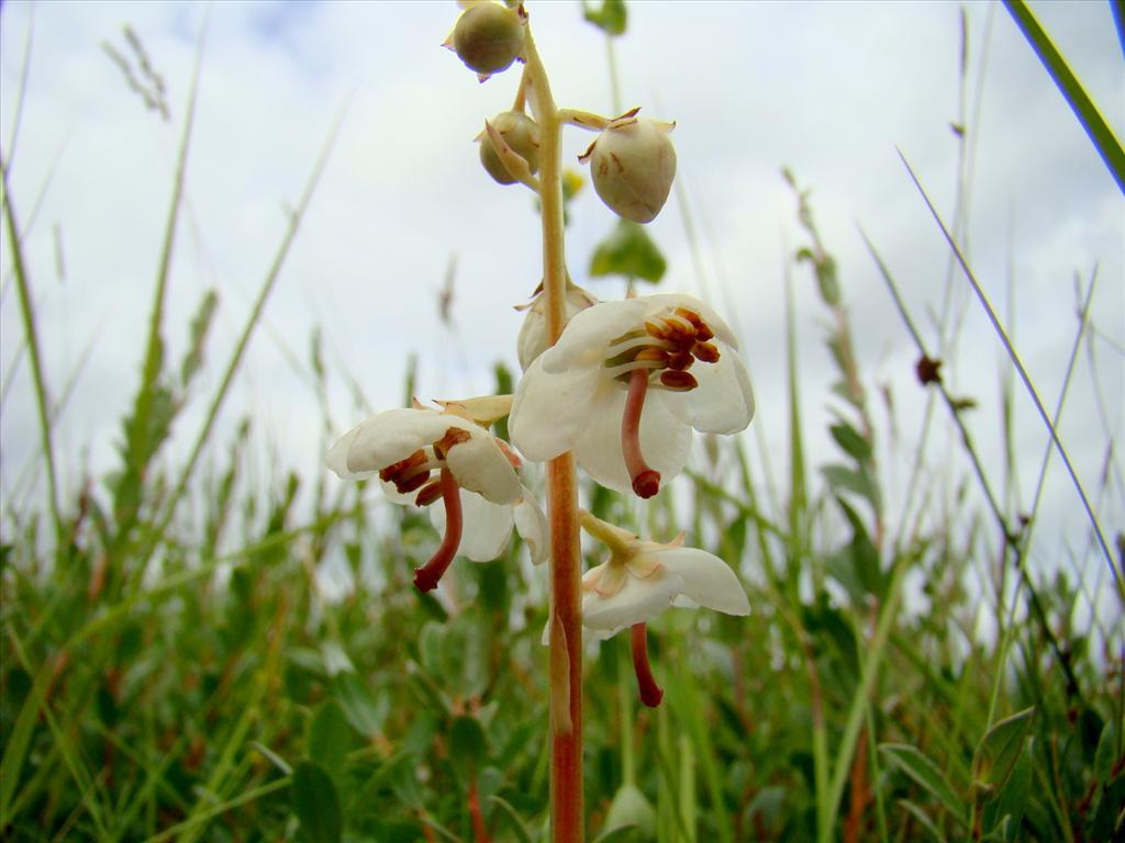 Pyrola rotundifolia (door Joop Verburg)