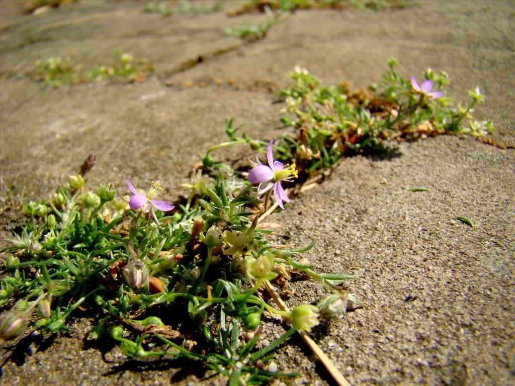 Spergularia rubra (door Joop Verburg)