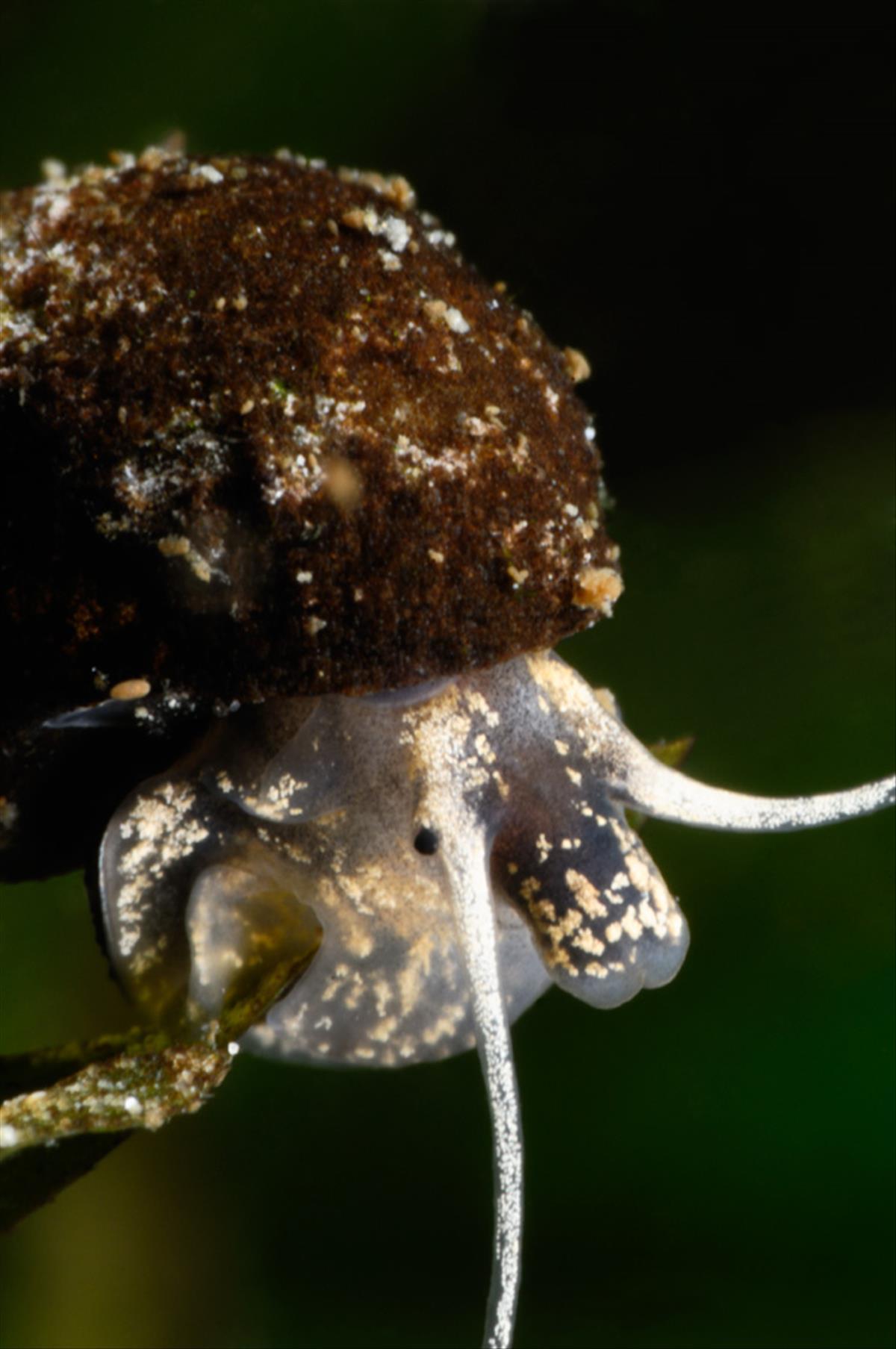 Bithynia tentaculata (door Silvia Waajen)