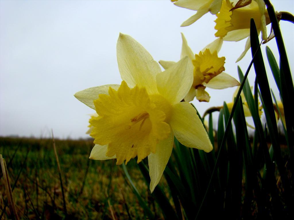 Narcissus pseudonarcissus subsp. pseudonarcissus (door Joop Verburg)