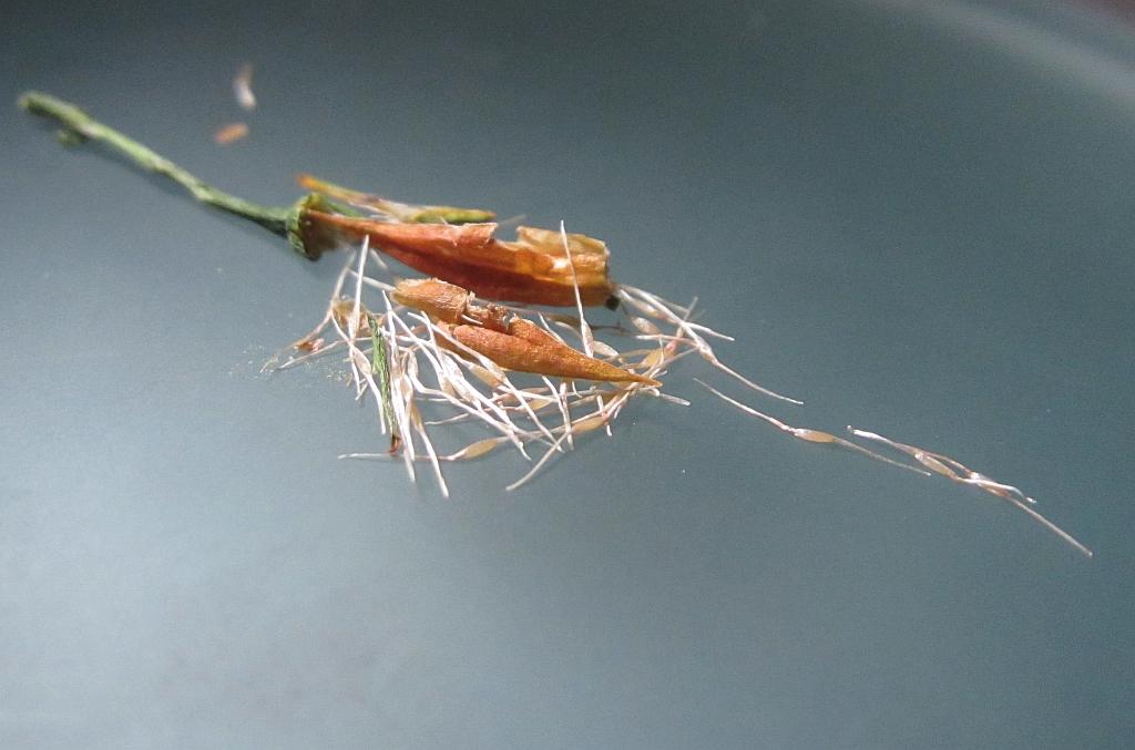 Narthecium ossifragum (door Hanneke Waller)