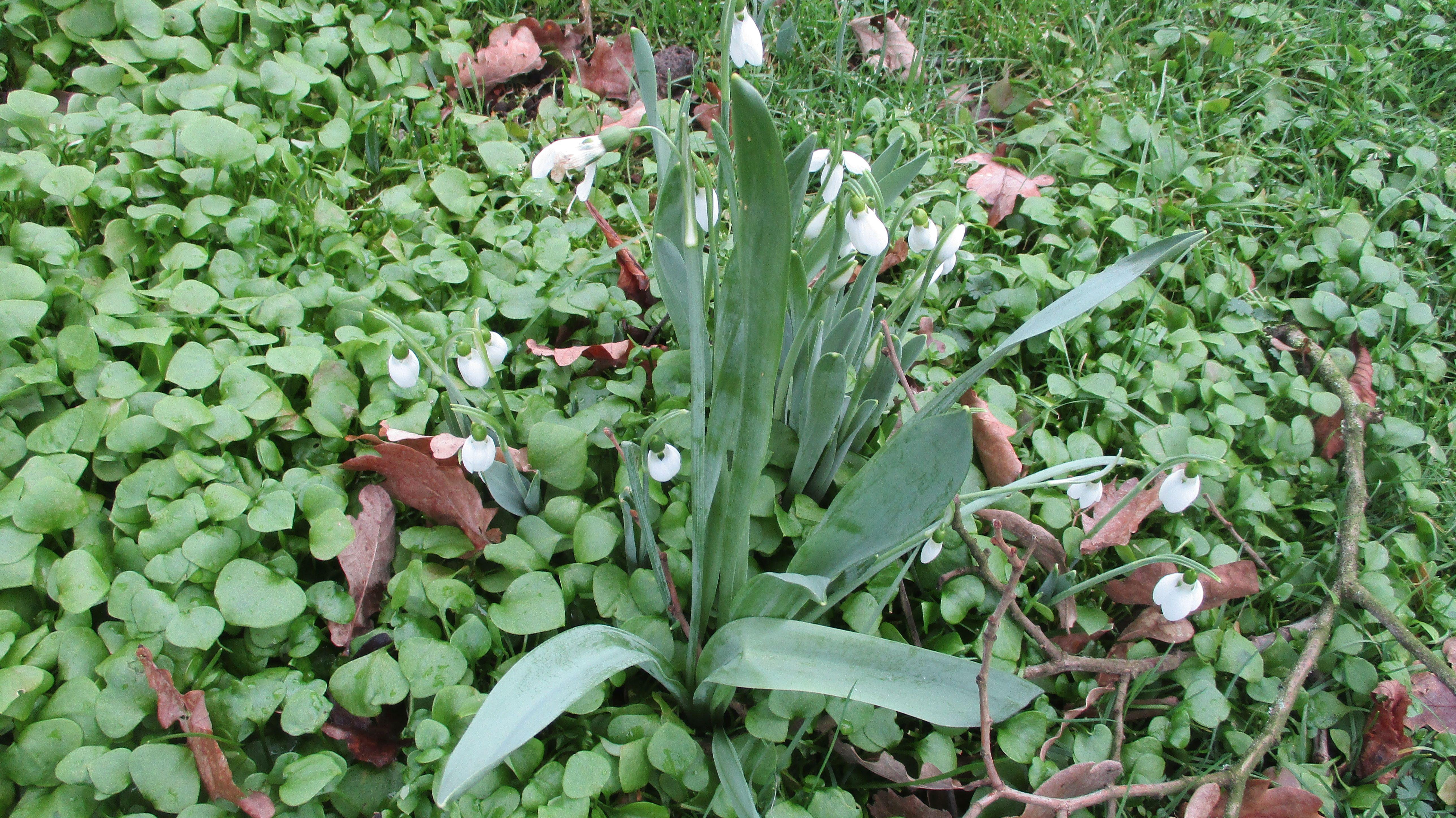 Galanthus elwesii (door Toon Verrijdt)