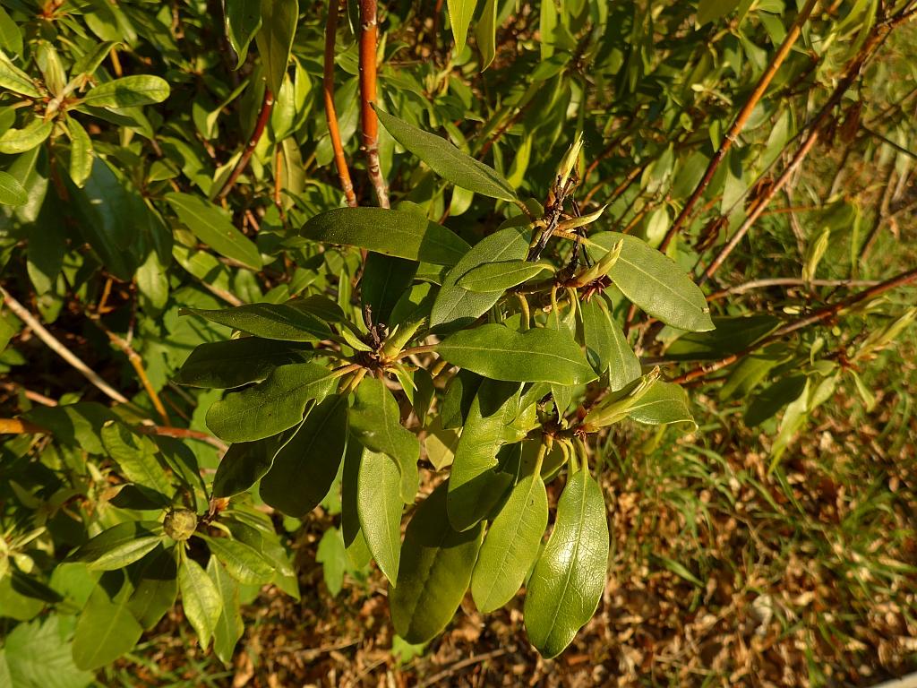 Rhododendron ponticum (door Hanneke Waller)