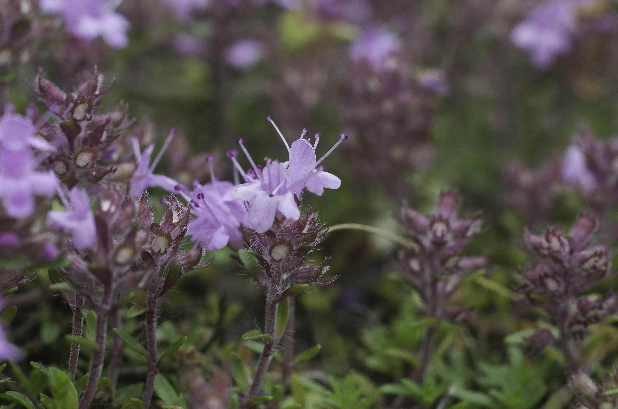 Thymus serpyllum (door Rense Haveman)