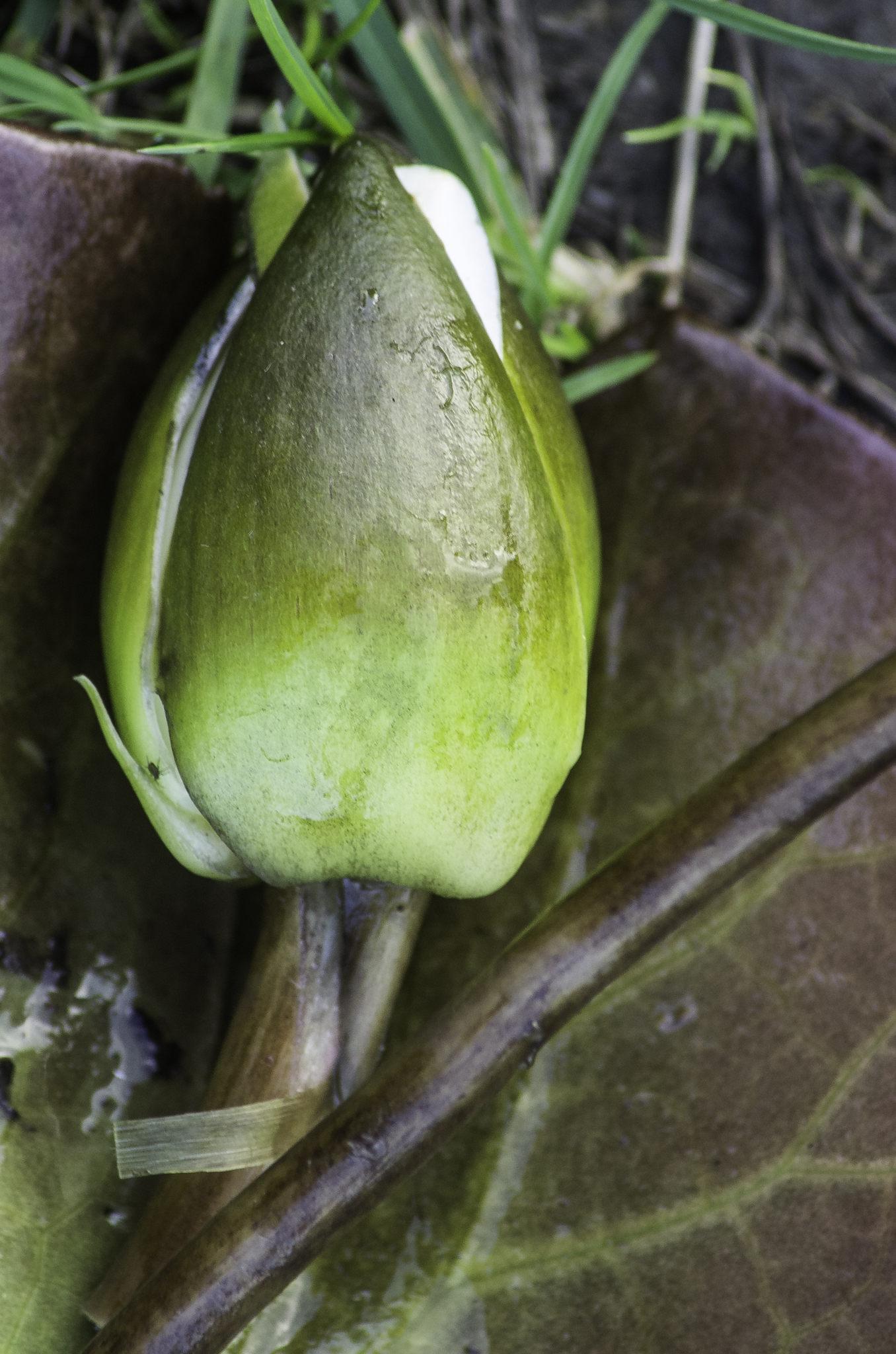 Nymphaea alba subsp. candida (door Rense Haveman)