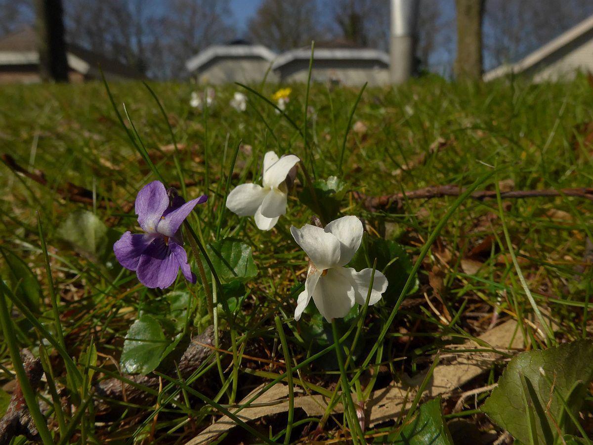 Viola odorata (door Hanneke Waller)