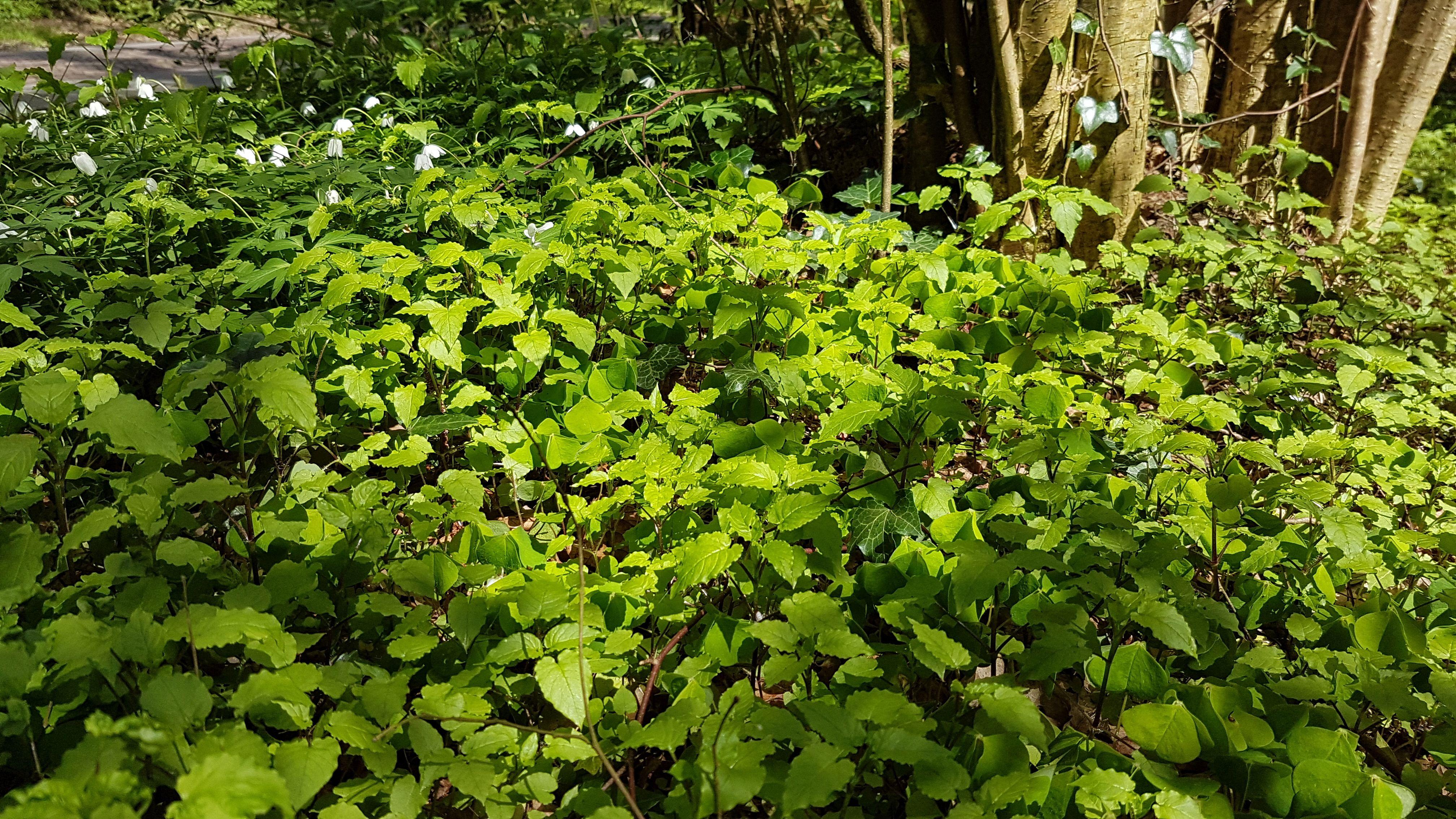 Stellaria nemorum subsp. montana (door Laurens Sparrius)
