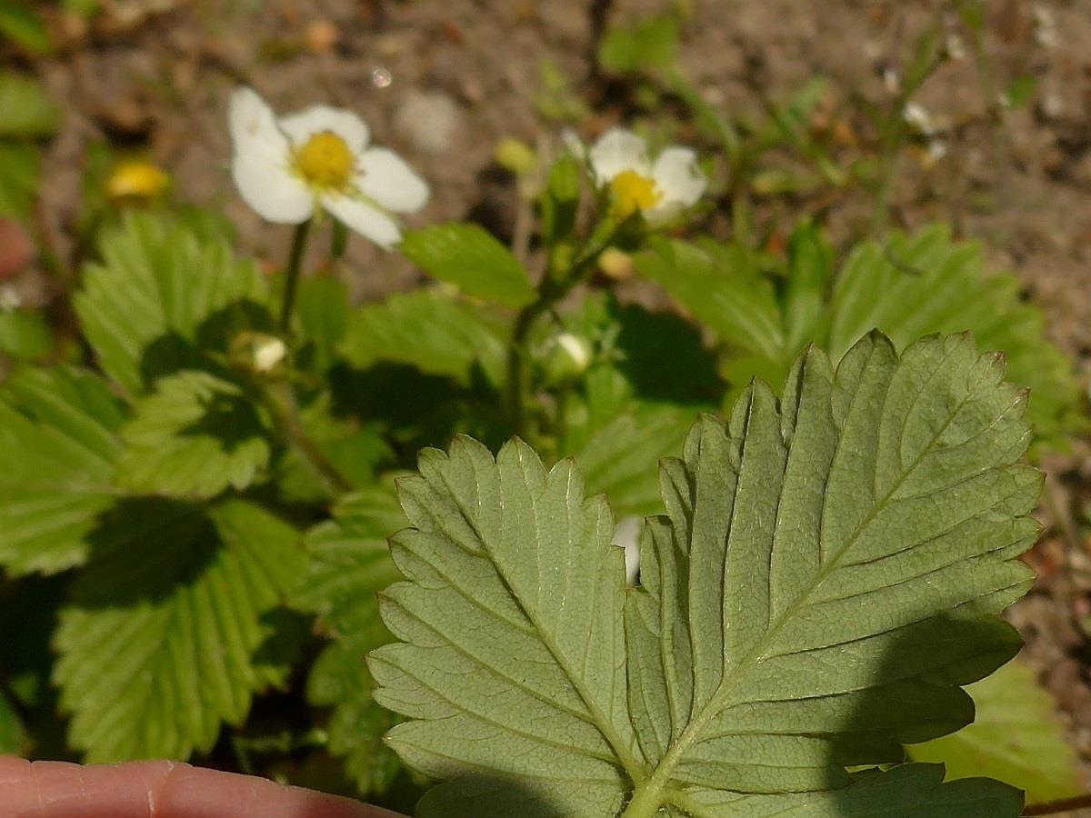 Fragaria vesca (door Hanneke Waller)