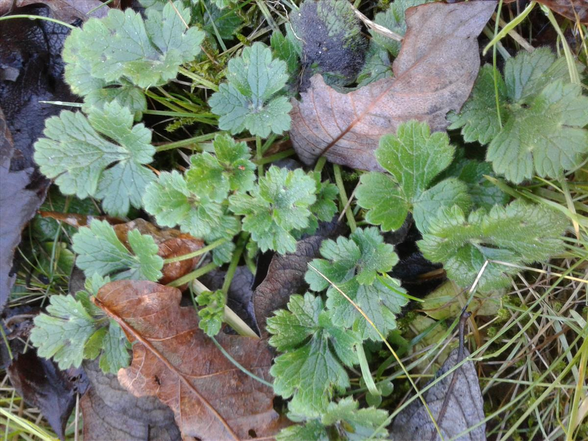 Ranunculus bulbosus (door Edwin Dijkhuis)