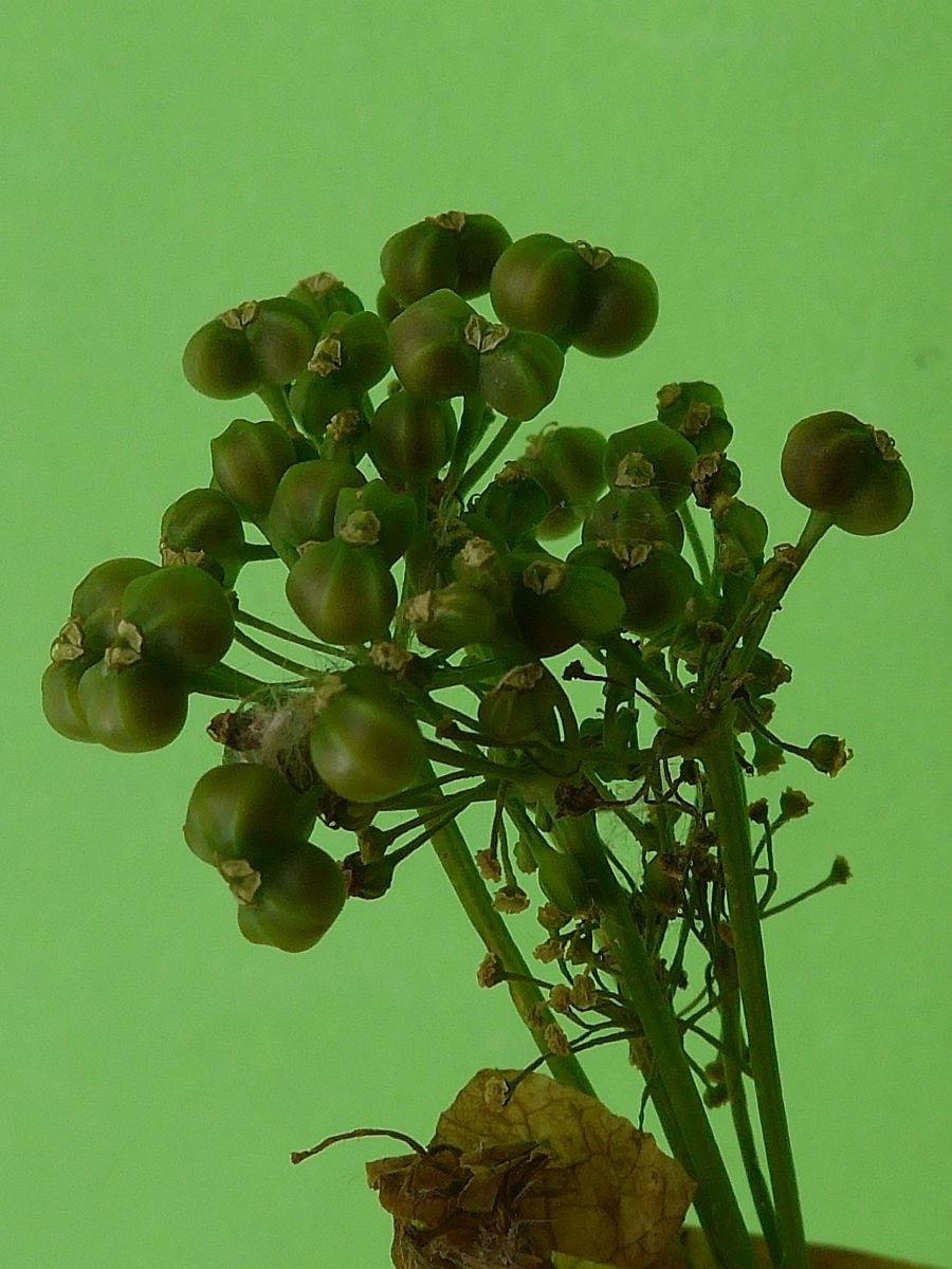 Smyrnium perfoliatum (door Hanneke Waller)