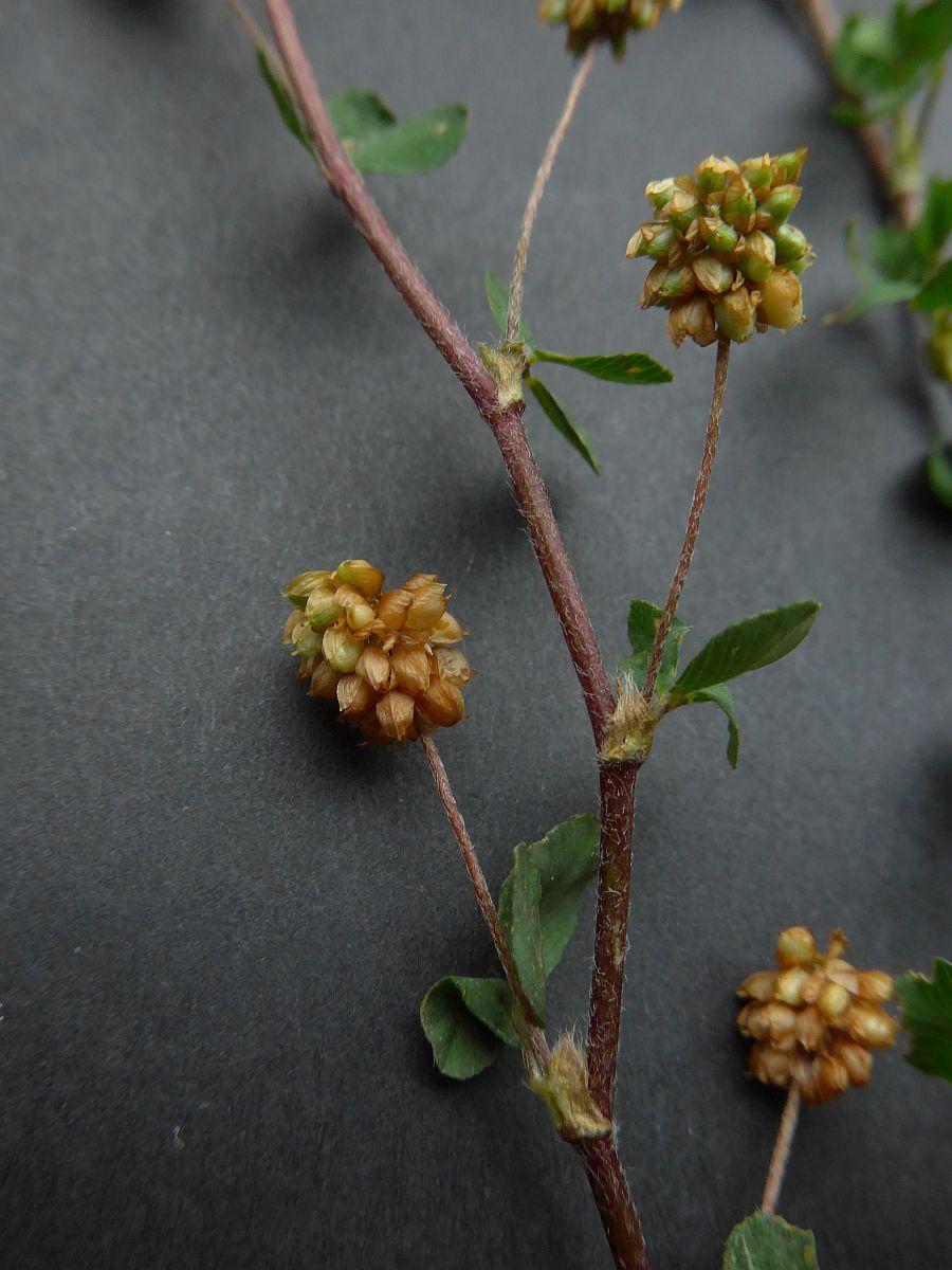 Trifolium dubium (door Hanneke Waller)