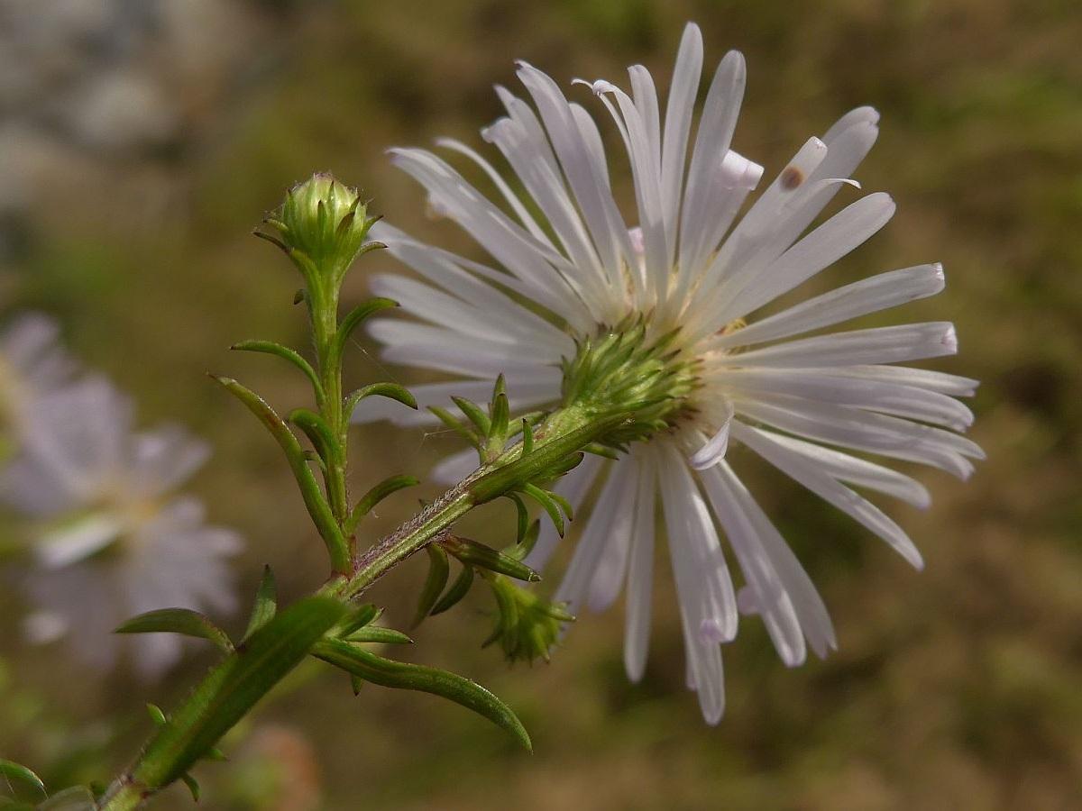 Aster lanceolatus / ontarionis (door Hanneke Waller)