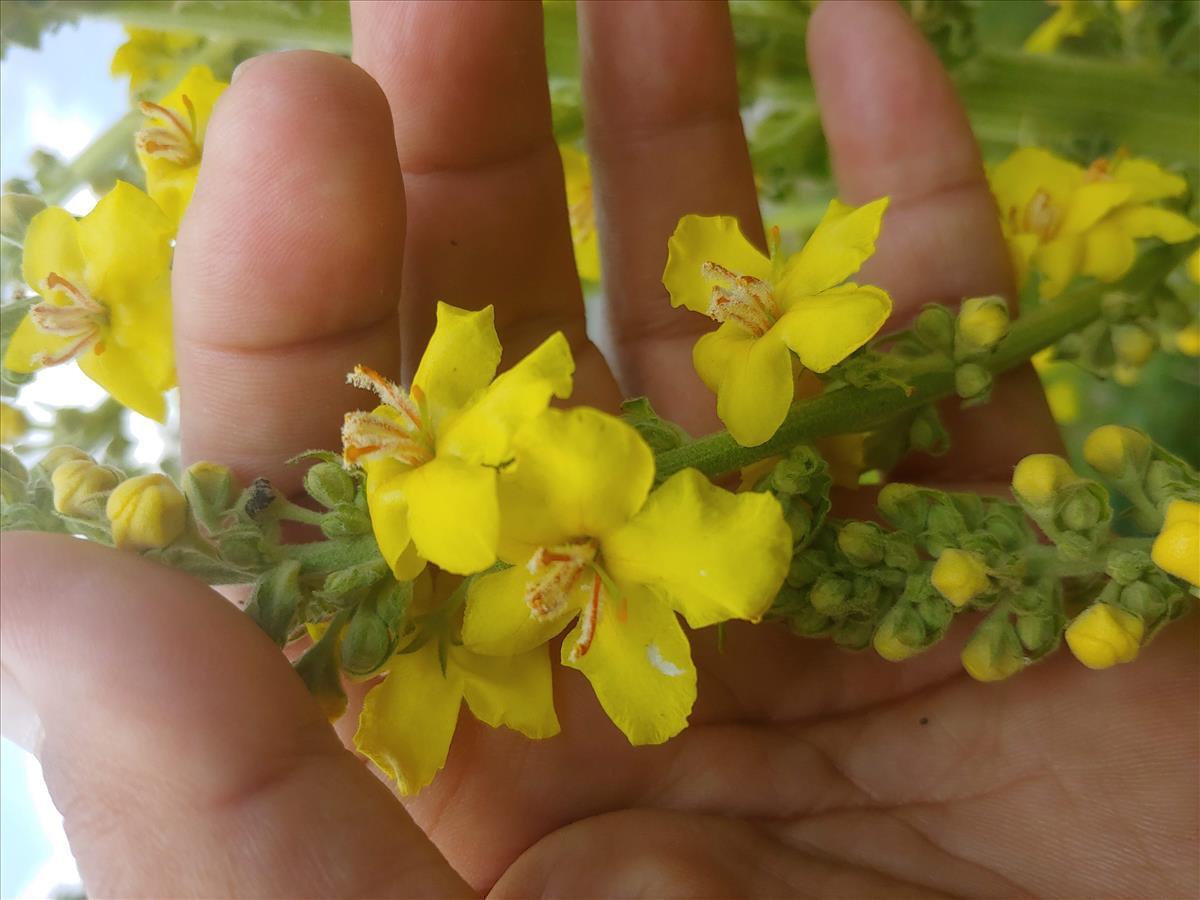 Verbascum speciosum (door Peter Wetzels)