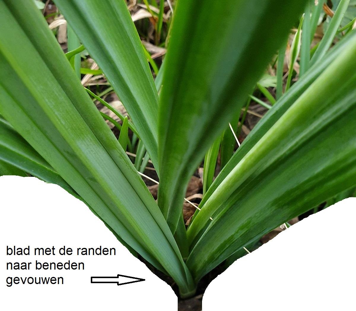 Galanthus plicatus (door Hanneke Waller)