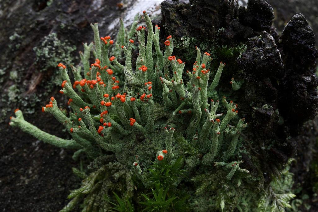 Cladonia macilenta (door Gerard Blokhuis)