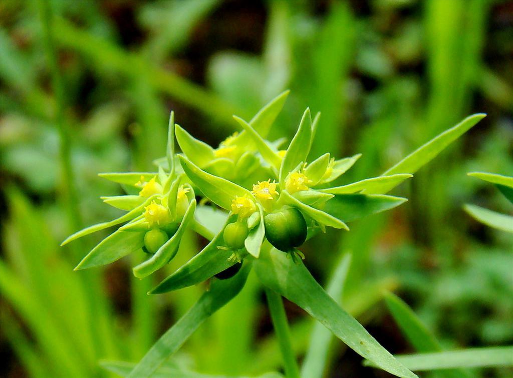 Euphorbia exigua (door Joop Verburg)