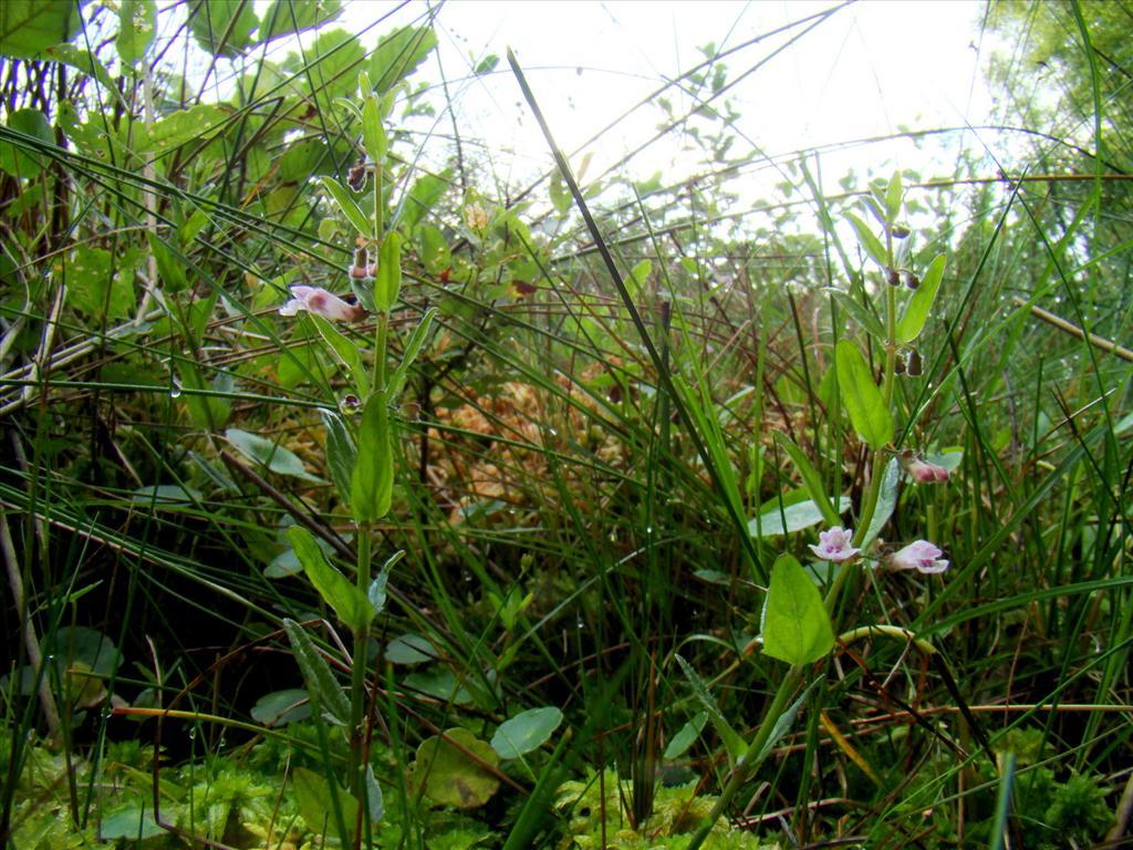 Scutellaria minor (door Joop Verburg)
