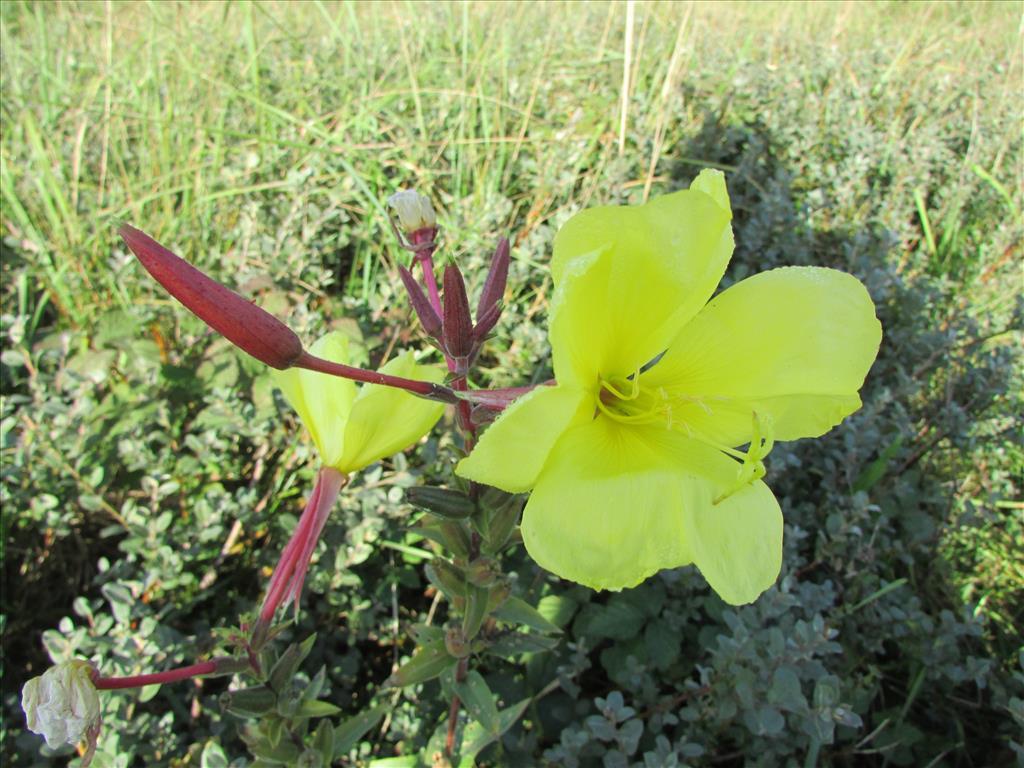 Oenothera rubricalyx (door ruud costers)