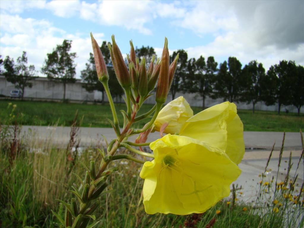 Oenothera glazioviana (door Joop Verburg)