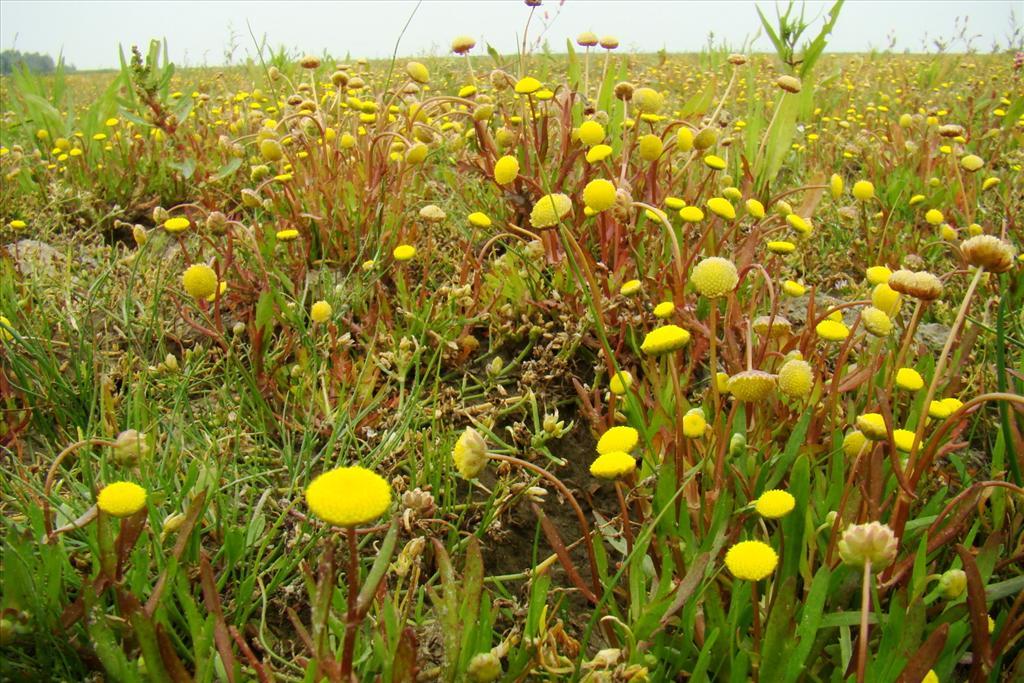 Cotula coronopifolia (door Joop Verburg)