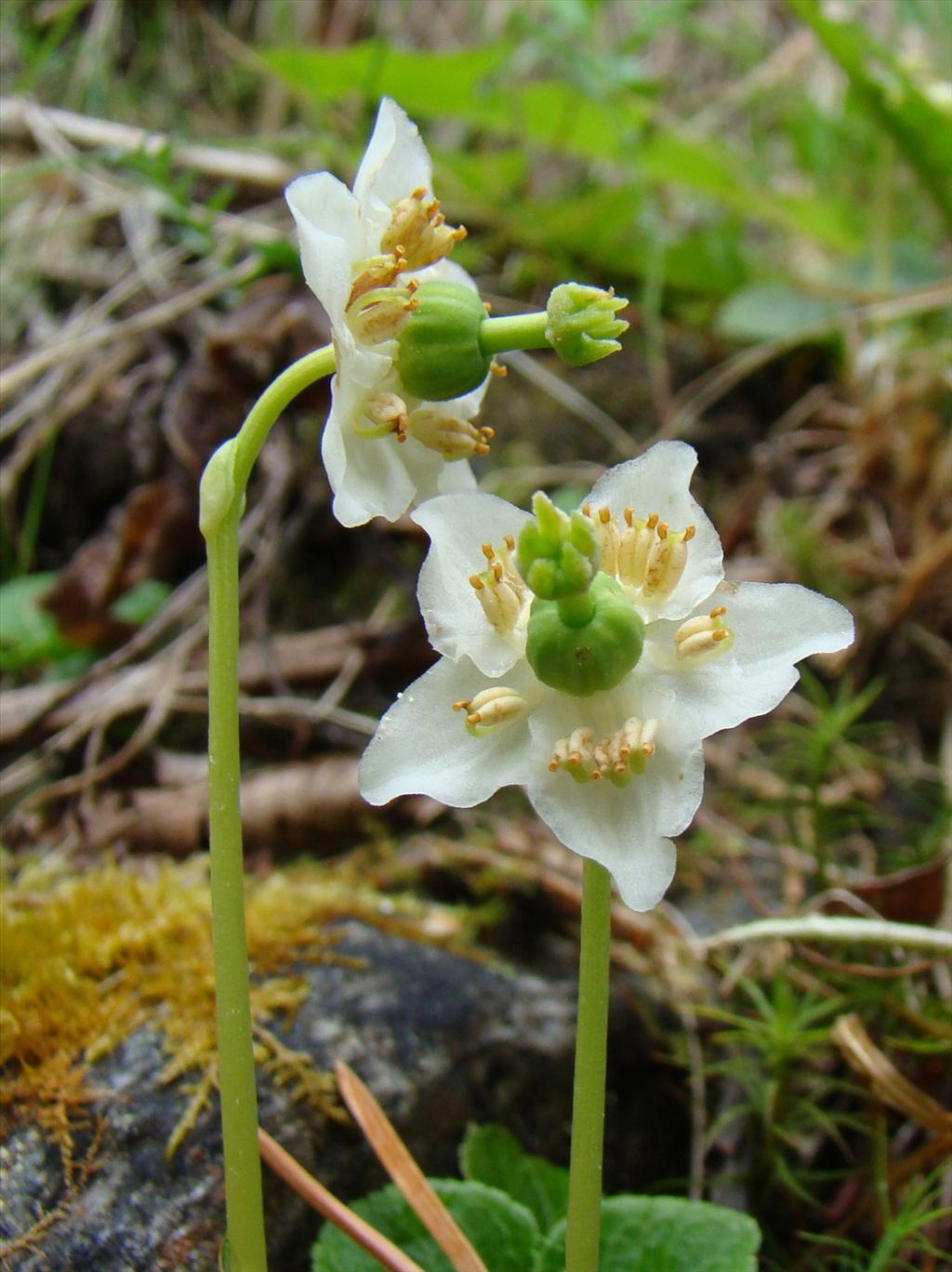 Moneses uniflora (door Joop Verburg)