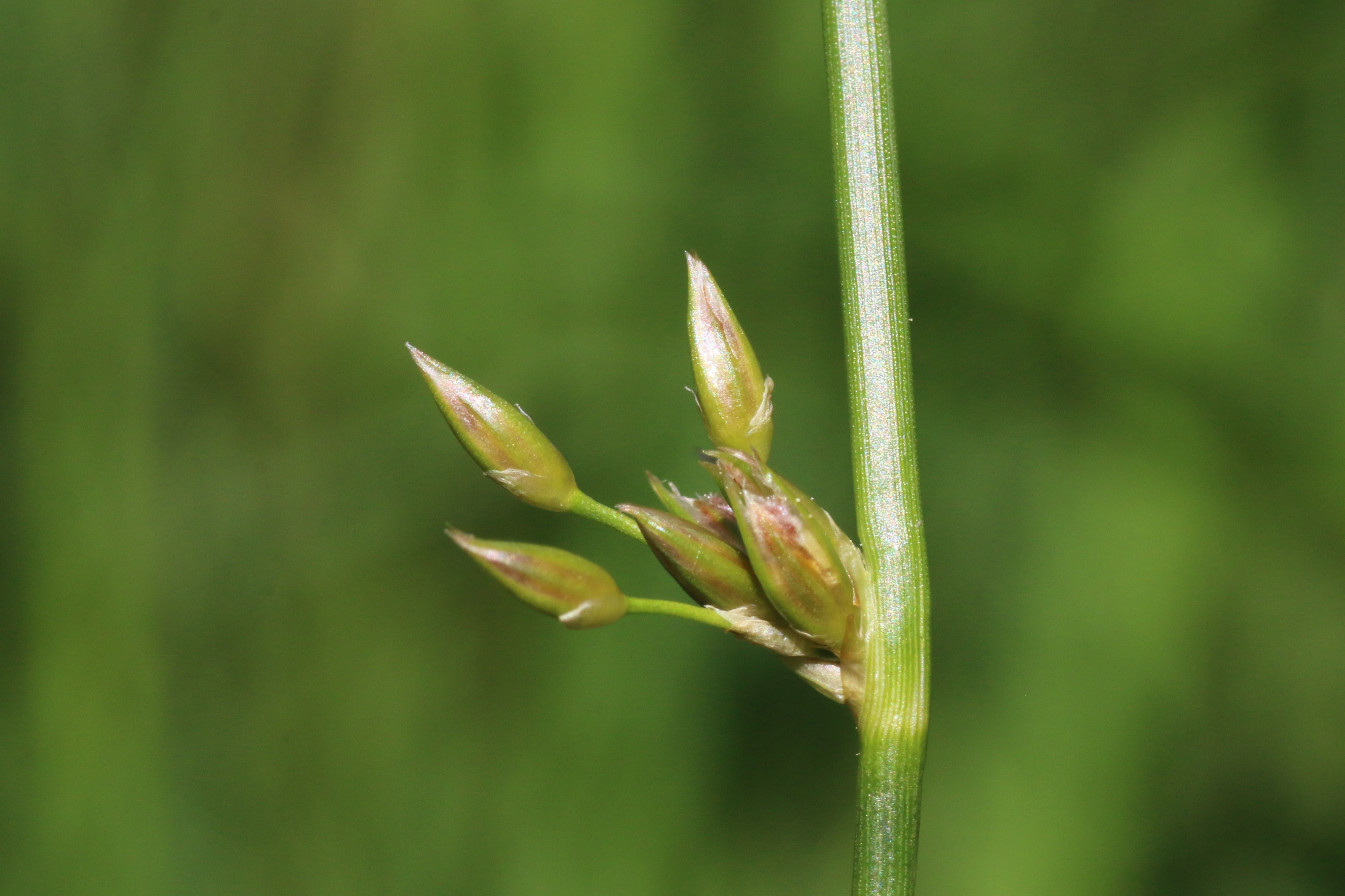 Juncus filiformis (door Willem Braam)