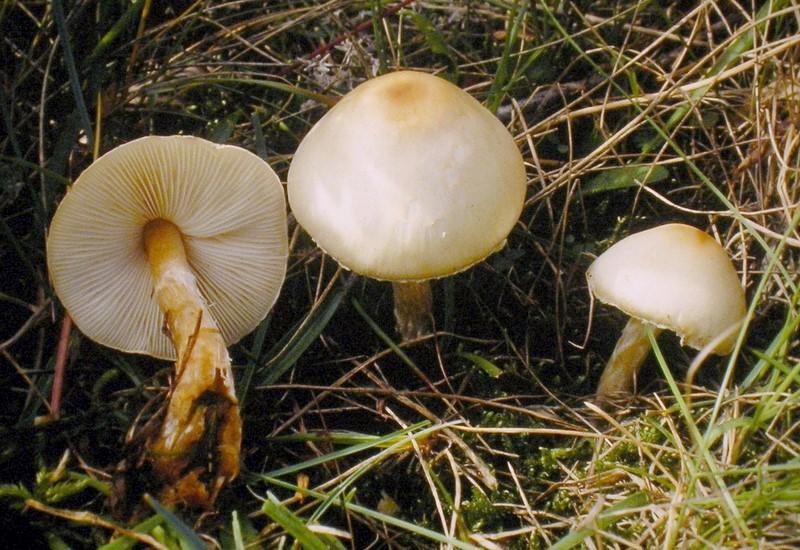 Lepiota erminea (door Aldert Gutter)