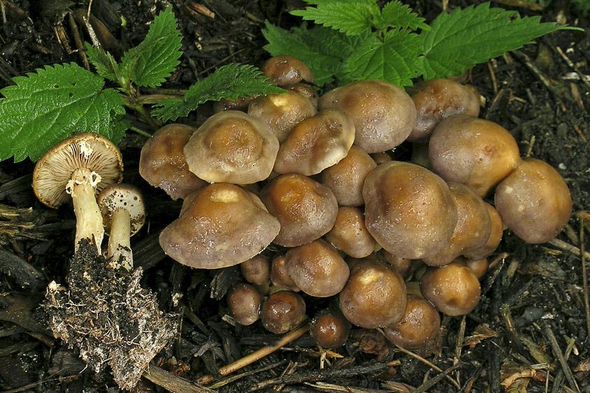 Agrocybe praecox (door Henk Huijser)