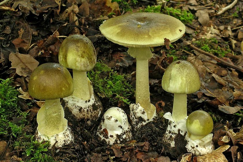 Amanita phalloides var. phalloides (door Henk Huijser)