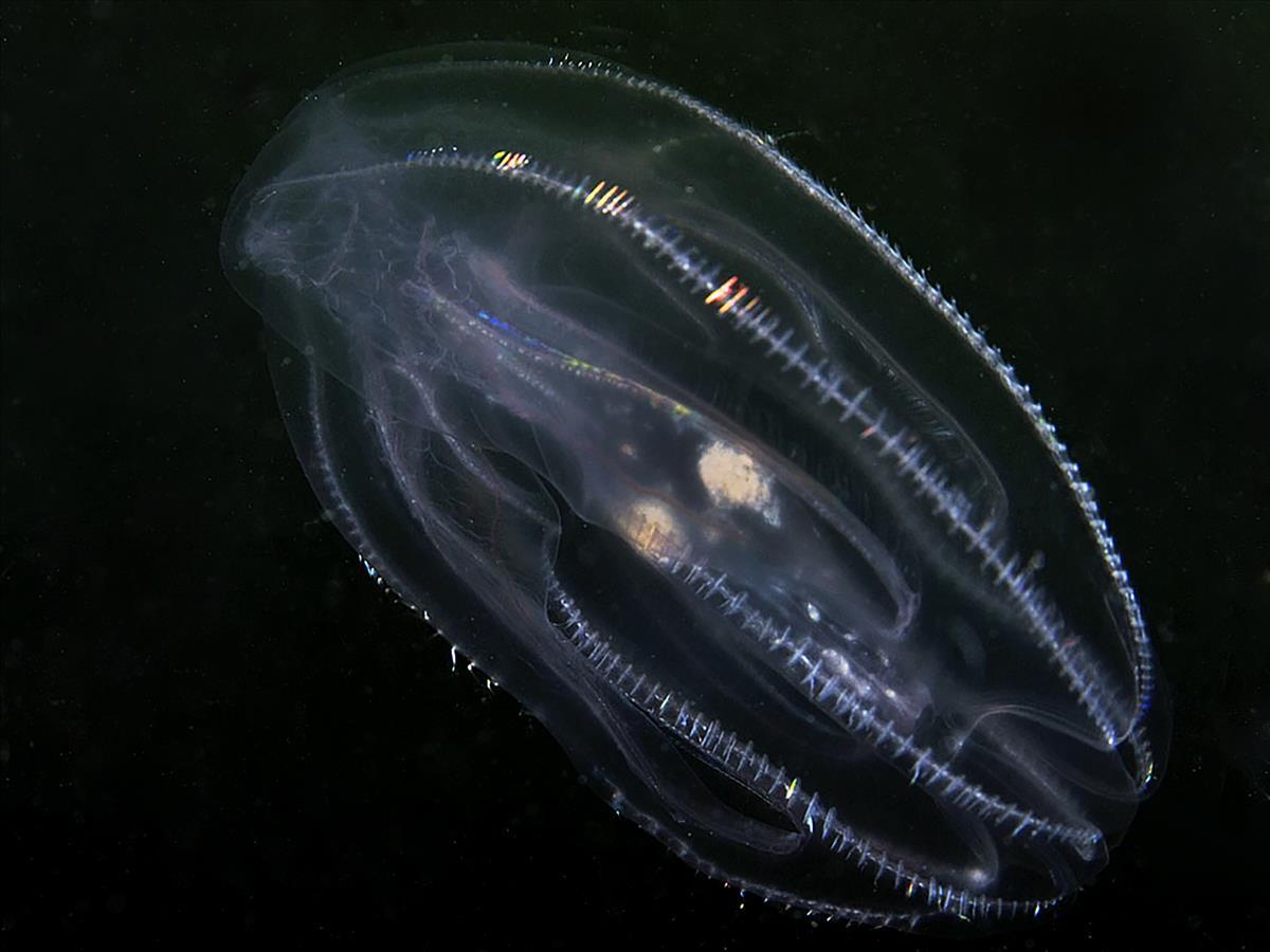 Mnemiopsis leidyi (door Marion Haarsma)