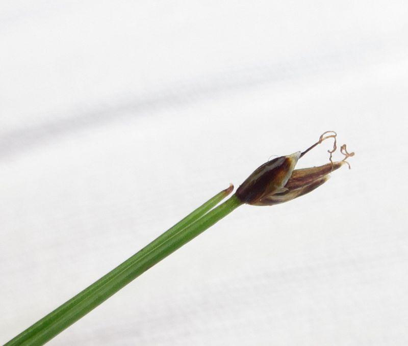 Eleocharis quinqueflora (door Wim Langbroek)