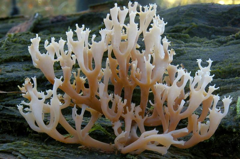 Artomyces pyxidatus (door Herman ten Grotenhuis)