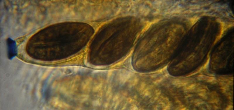 Poronia erici (door Aldert Gutter)